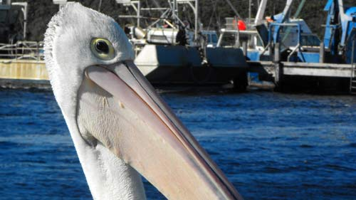 eye-of-pelican