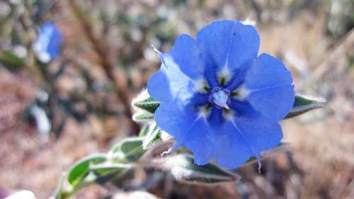 karratha_blue_flower
