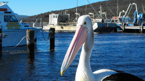 pelican_fishing-boat-harbou