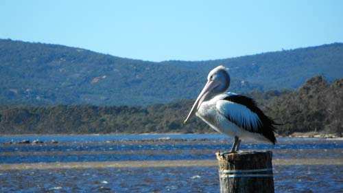 pelican_pole