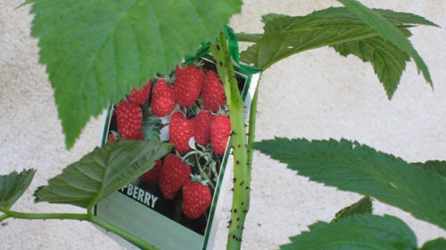 raspberry_closeup